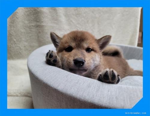 柴犬の子犬(ID:1248211145)の2枚目の写真/更新日:2021-09-10