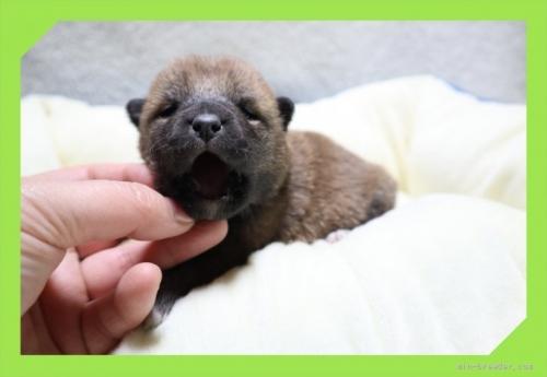 柴犬の子犬(ID:1248211149)の1枚目の写真/更新日:2017-01-20