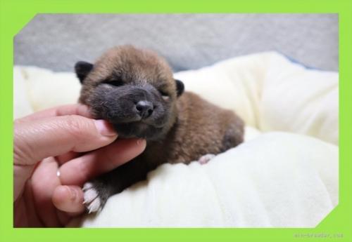 柴犬の子犬(ID:1248211149)の2枚目の写真/更新日:2017-01-20