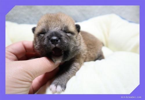 柴犬の子犬(ID:1248211150)の1枚目の写真/更新日:2017-01-20