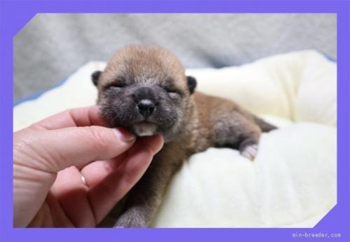 柴犬の子犬(ID:1248211150)の2枚目の写真/更新日:2017-01-20