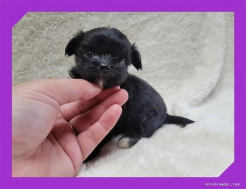 ミックスの子犬(ID:1248211156)の2枚目の写真/更新日:2017-02-02