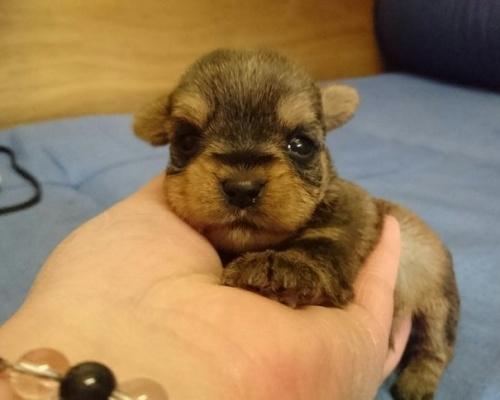 ミックスの子犬(ID:1248211158)の1枚目の写真/更新日:2017-02-02