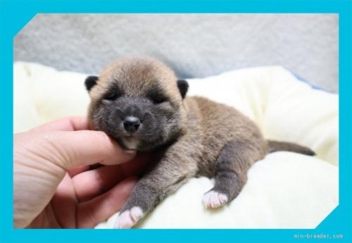 柴犬の子犬(ID:1248211159)の1枚目の写真/更新日:2021-09-10