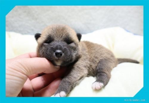 柴犬の子犬(ID:1248211159)の2枚目の写真/更新日:2021-09-10
