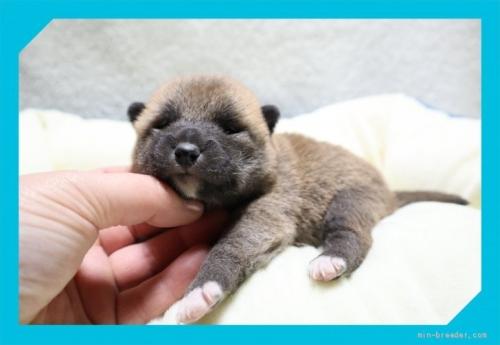 柴犬の子犬(ID:1248211159)の3枚目の写真/更新日:2021-09-10