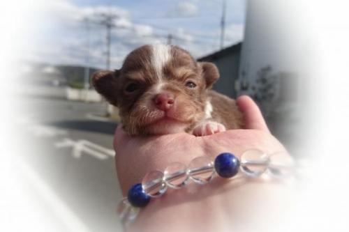 チワワ(ロング)の子犬(ID:1248211166)の1枚目の写真/更新日:2017-02-27