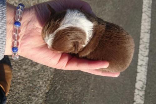 チワワ(ロング)の子犬(ID:1248211166)の3枚目の写真/更新日:2017-02-27