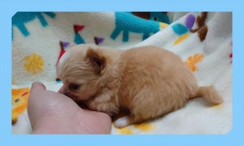 チワワ(ロング)の子犬(ID:1248211167)の3枚目の写真/更新日:2021-02-05