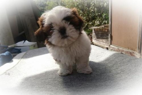 シーズーの子犬(ID:1248211168)の1枚目の写真/更新日:2017-04-24