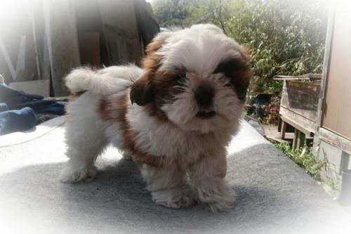 シーズーの子犬(ID:1248211168)の3枚目の写真/更新日:2017-04-24