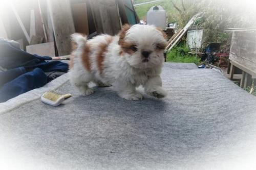 シーズーの子犬(ID:1248211169)の1枚目の写真/更新日:2017-04-24