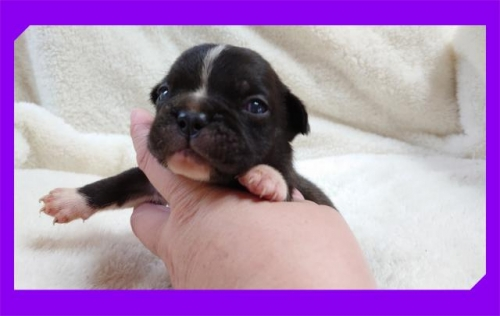 フレンチブルドッグの子犬(ID:1248211170)の2枚目の写真/更新日:2017-04-24