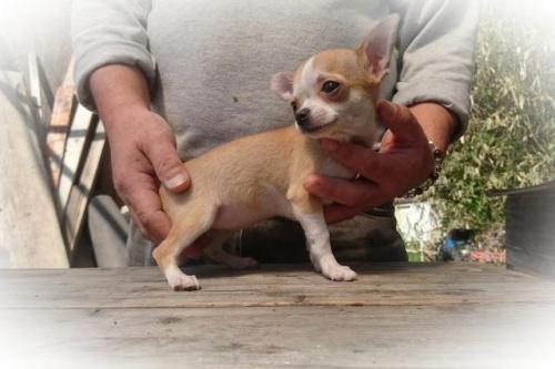 チワワ(スムース)の子犬(ID:1248211172)の1枚目の写真/更新日:2017-05-01