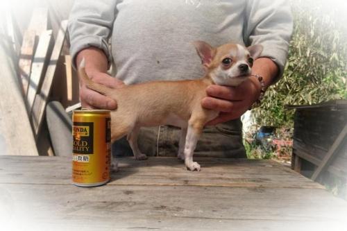 チワワ(スムース)の子犬(ID:1248211172)の2枚目の写真/更新日:2017-05-01