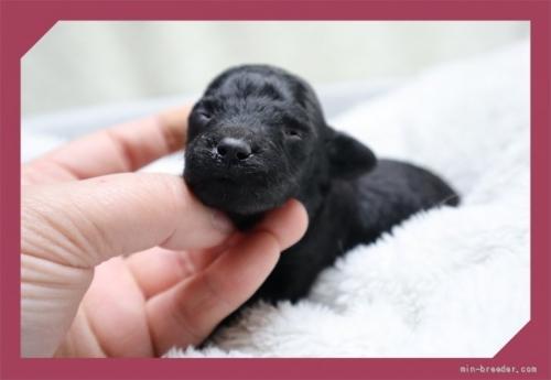 トイプードルの子犬(ID:1248211173)の1枚目の写真/更新日:2018-09-05