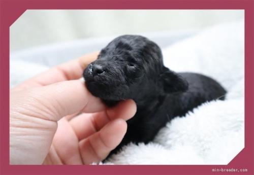 トイプードルの子犬(ID:1248211173)の2枚目の写真/更新日:2020-09-27