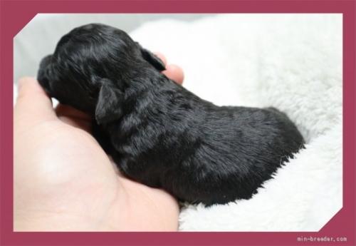 トイプードルの子犬(ID:1248211173)の3枚目の写真/更新日:2017-05-06