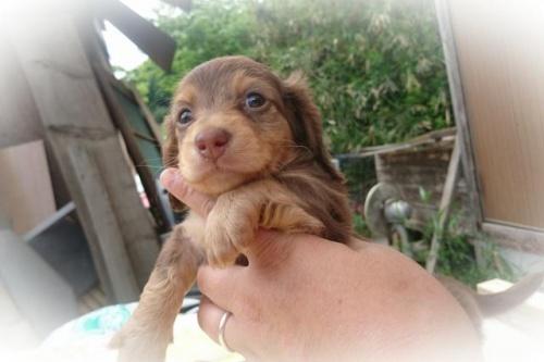 ミニチュアダックスフンド(ロング)の子犬(ID:1248211177)の1枚目の写真/更新日:2017-05-24