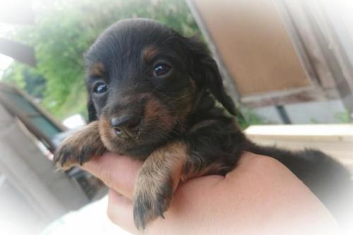 ミニチュアダックスフンド(ロング)の子犬(ID:1248211178)の1枚目の写真/更新日:2017-05-24