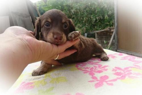 ミニチュアダックスフンド(ロング)の子犬(ID:1248211179)の1枚目の写真/更新日:2017-05-24