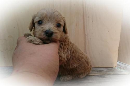 ミックスの子犬(ID:1248211180)の2枚目の写真/更新日:2017-06-19