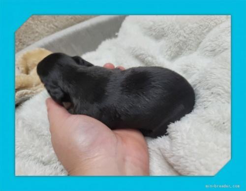 ミニチュアダックスフンド(ロング)の子犬(ID:1248211187)の2枚目の写真/更新日:2017-08-08