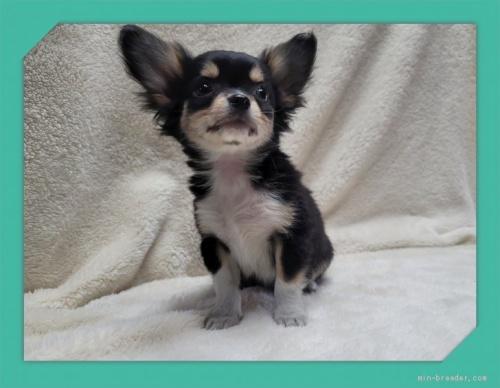 チワワ(ロング)の子犬(ID:1248211189)の1枚目の写真/更新日:2017-08-08