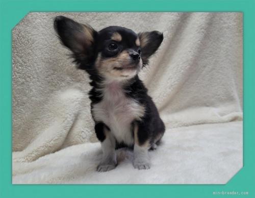 チワワ(ロング)の子犬(ID:1248211189)の2枚目の写真/更新日:2017-07-18