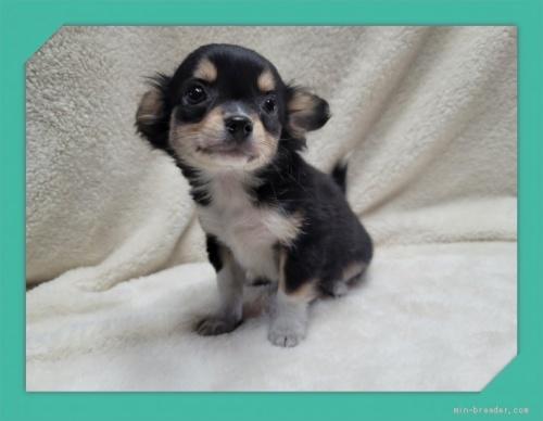 チワワ(ロング)の子犬(ID:1248211189)の3枚目の写真/更新日:2017-07-18