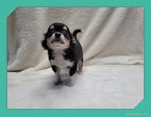 チワワ(ロング)の子犬(ID:1248211189)の4枚目の写真/更新日:2021-05-02