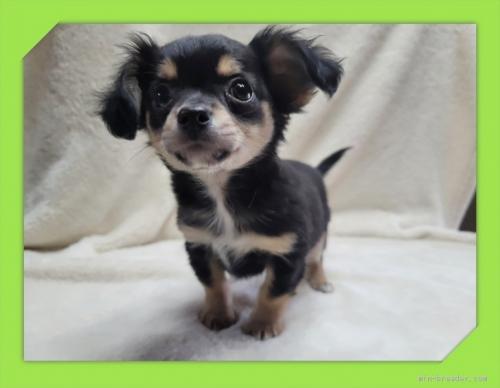 チワワ(ロング)の子犬(ID:1248211191)の1枚目の写真/更新日:2017-08-22