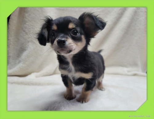 チワワ(ロング)の子犬(ID:1248211191)の2枚目の写真/更新日:2017-07-18