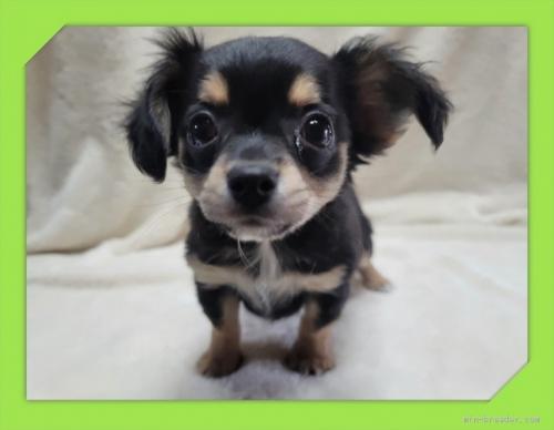 チワワ(ロング)の子犬(ID:1248211191)の3枚目の写真/更新日:2021-05-02
