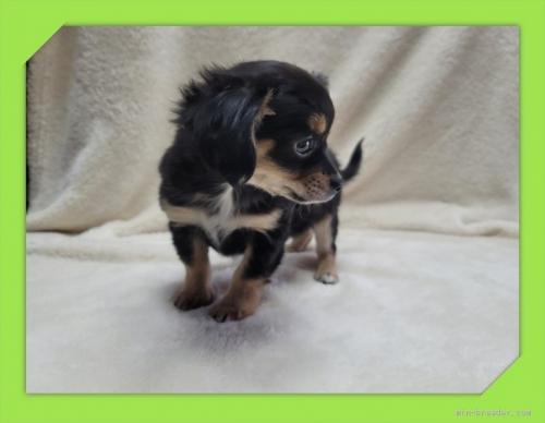 チワワ(ロング)の子犬(ID:1248211191)の4枚目の写真/更新日:2021-05-02