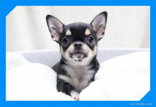 チワワ(ロング)の子犬(ID:1248211192)の1枚目の写真/更新日:2017-07-18