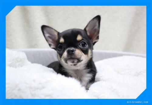 チワワ(ロング)の子犬(ID:1248211192)の2枚目の写真/更新日:2017-07-18