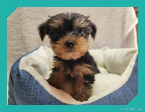 ヨークシャーテリアの子犬(ID:1248211193)の1枚目の写真/更新日:2017-07-07