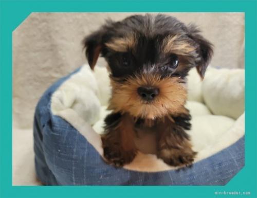 ヨークシャーテリアの子犬(ID:1248211193)の2枚目の写真/更新日:2017-08-08