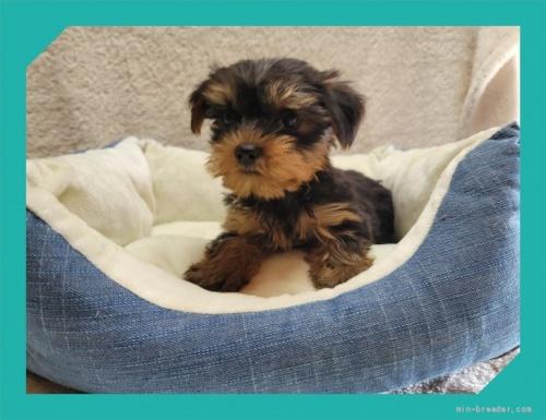 ヨークシャーテリアの子犬(ID:1248211193)の3枚目の写真/更新日:2021-08-26