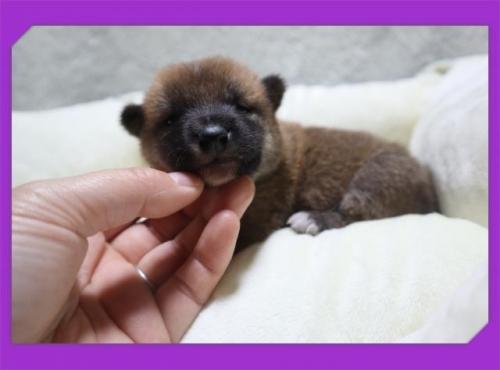 柴犬の子犬(ID:1248211194)の1枚目の写真/更新日:2017-07-07