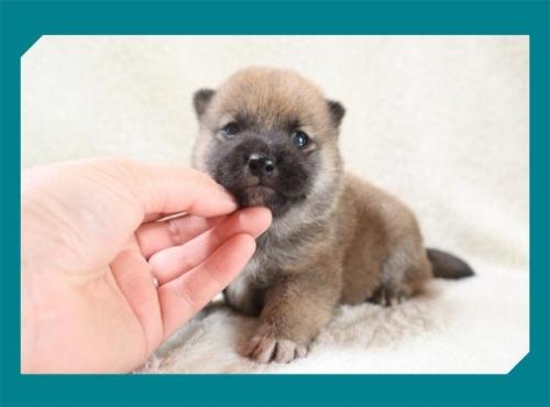 柴犬の子犬(ID:1248211201)の1枚目の写真/更新日:2017-08-22
