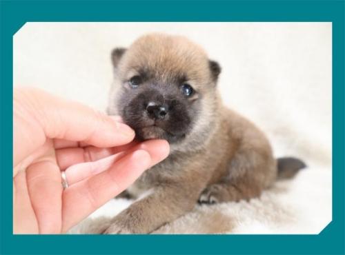 柴犬の子犬(ID:1248211201)の2枚目の写真/更新日:2017-08-22