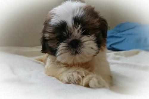 シーズーの子犬(ID:1248211204)の2枚目の写真/更新日:2017-08-22