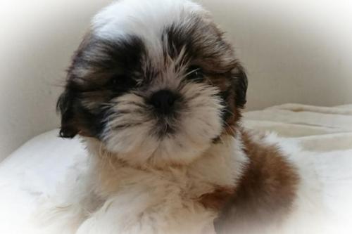 シーズーの子犬(ID:1248211204)の4枚目の写真/更新日:2017-08-22