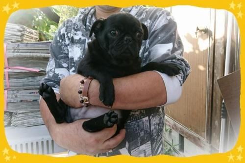 パグの子犬(ID:1248211207)の1枚目の写真/更新日:2017-08-08