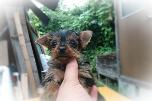ヨークシャーテリアの子犬(ID:1248211210)の1枚目の写真/更新日:2017-08-28