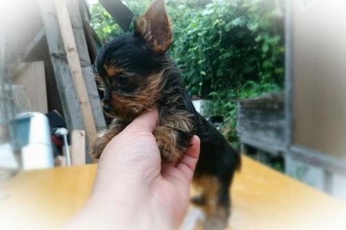ヨークシャーテリアの子犬(ID:1248211210)の2枚目の写真/更新日:2017-08-28