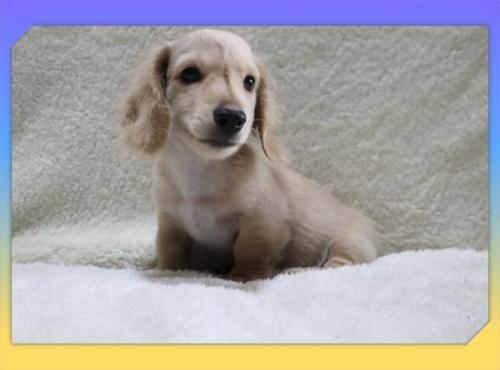 ミニチュアダックスフンド(ロング)の子犬(ID:1248211213)の2枚目の写真/更新日:2021-07-02