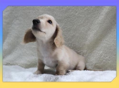 ミニチュアダックスフンド(ロング)の子犬(ID:1248211213)の3枚目の写真/更新日:2021-07-02